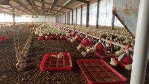 Puerto Rico Chicken Farm
